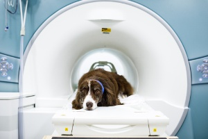 A ciência sabe o que seu cachorro está pensando e ele realmente te ama (Foto: DUSTIN CHAMBERS/NYT)