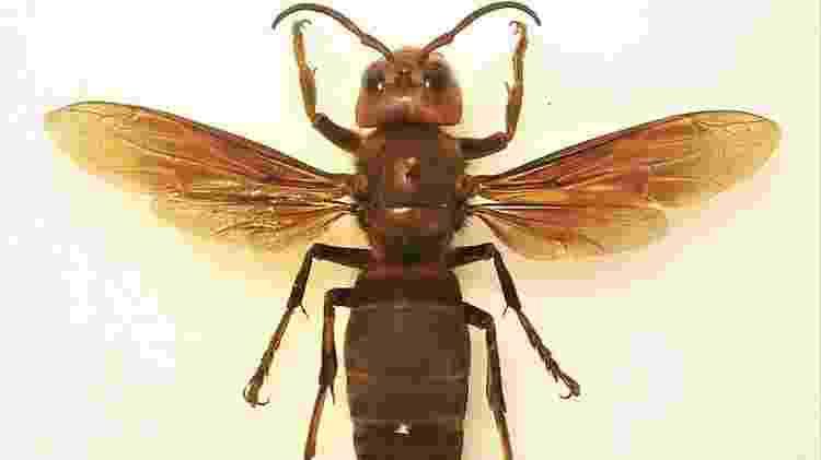 Uma 'vespa assassina' - Wikimedia Commons - Wikimedia Commons