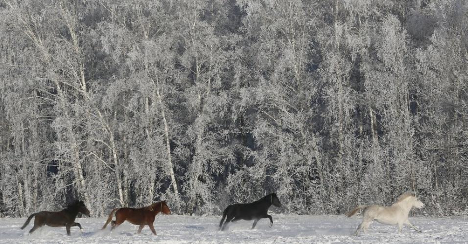 5.jan.2016 - Cavalos de cores distintas galopam através de campo coberto por neve na cidade de Krasnoyarsk, na Rússia, onde os termômetros marcam cerca de ? 24°C