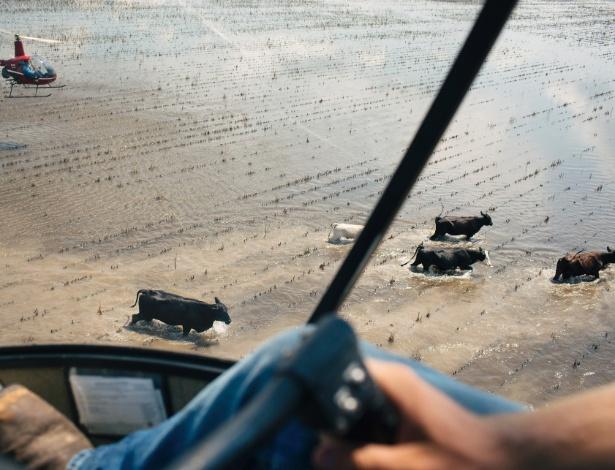 Ryan Ashcraft utiliza o helicóptero para conduzir o gado para um local mais seguro