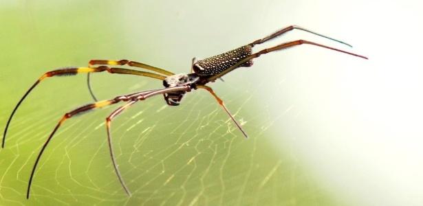 Pesquisador usou DNA das aranhas 'Nephila clavipes' para analisar mudanças nas florestas