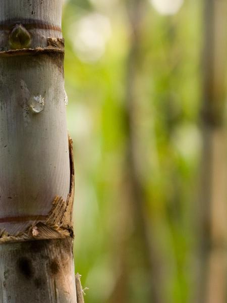 A Raízen é uma das maiores produtoras do mundo de etanol e açúcar, e sua estreia na Bolsa é a mais aguardada do ano - georgeclerk/Getty Images