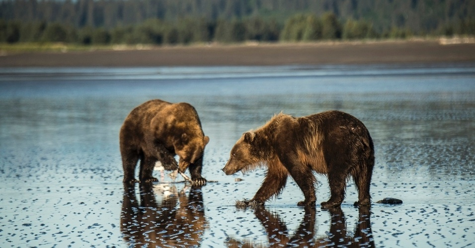 26.abr.2016 - Ursos marrons no Parque Nacional do Lago Clark, no Alasca. Os ursos marrons são os mais comuns do mundo, apesar de raramente vistos no inverno