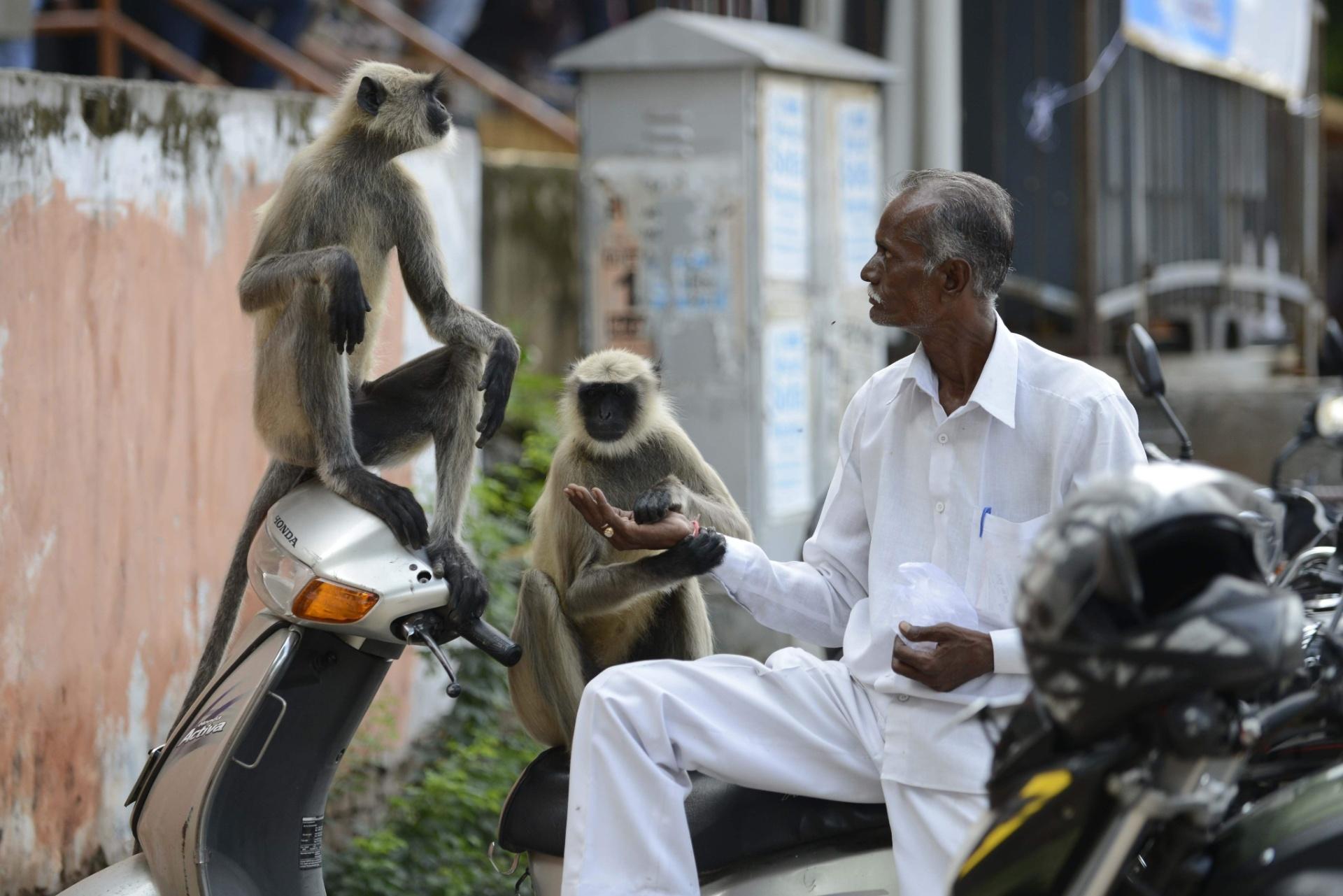 1º.ago.2016 - Indiano dá amendoins para macacos no meio de uma rua movimentada em Ahmedabad, na Índia. Alimentar animais é um gesto sagrado para os hindus