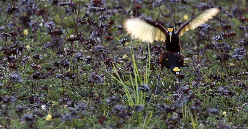 25.ago.2016 - Galinha selvagem alça voo em lago no Parque Palo Verde, em Guanacaste (Costa Rica)