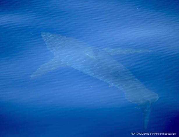 Tubarão branco é encontrado em águas espanholas pela primeira vez em décadas - Reprodução/Facebook/@Alnitak