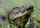 Grifes de luxo alimentam as lucrativas fazendas de crocodilos na Austrália - David Gray/ Reuters