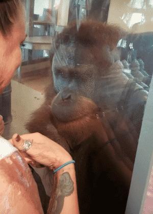 """Orangotango fica """"comovido"""" com queimaduras e se comunica com mulher em zoo - Reprodução"""