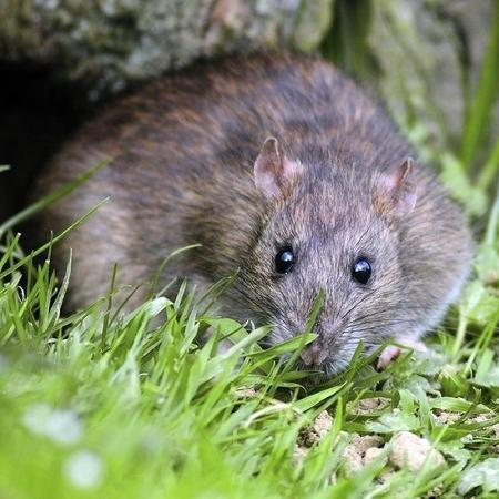 Animais como os ratos são beneficiados pela ação humana - SPL