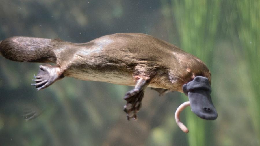 Ornitorrinco é um bicho engraçado, um mamífero que bota ovo e tem bico - John Carnemolla/Getty Images/iStockphoto