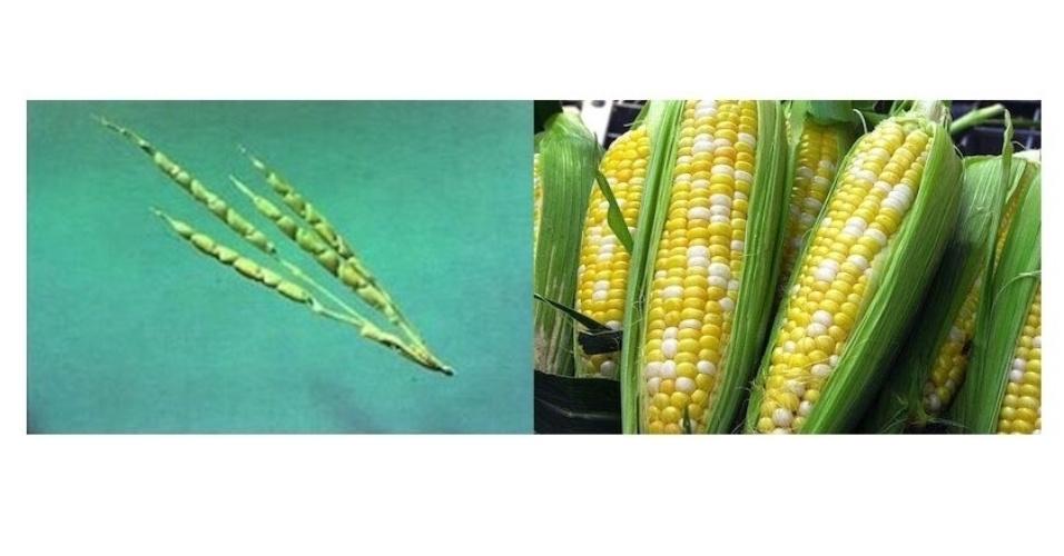 Os primeiros cenouras eram provavelmente como os da imagem da esquerda, feita pelo Genetic Literacy Project. À direita, imagem de um tipo de milho atual
