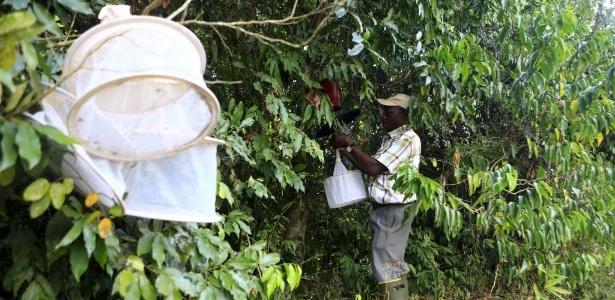 Pesquisador recolhe armadilhas de mosquitos na floresta de Zika, em Uganda