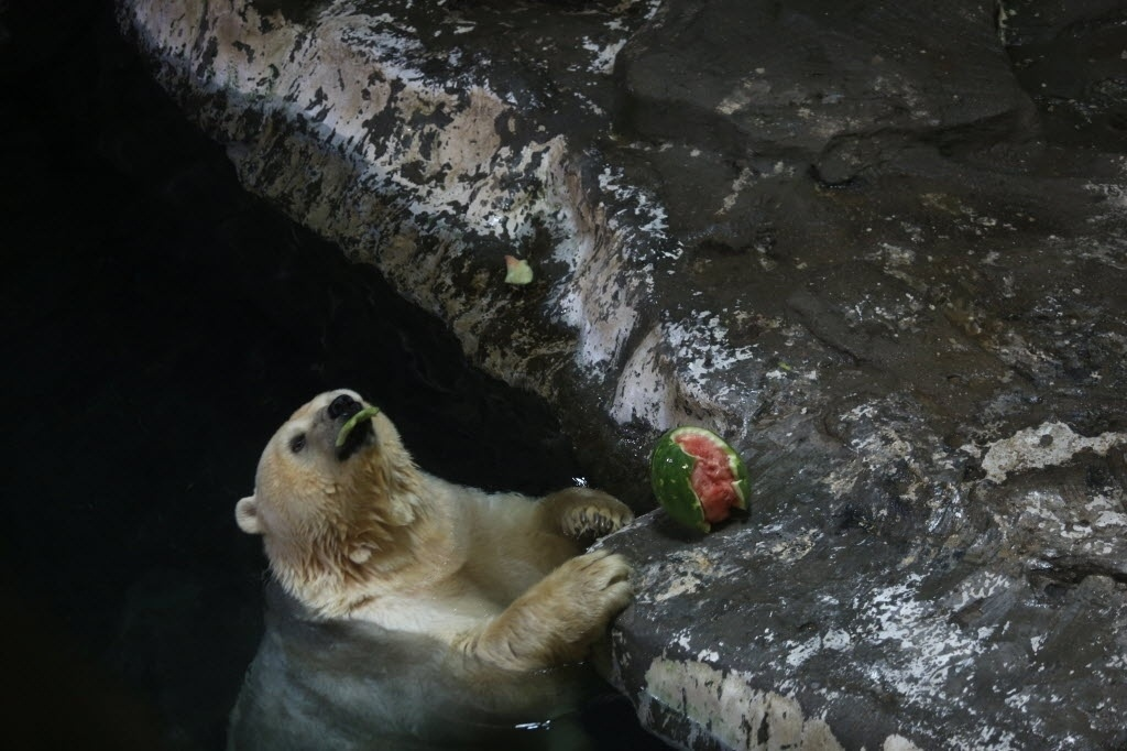 21.jul.2016 - Um urso polar aprecia seu lanche, uma melancia, no parque de Hangzhou, na China
