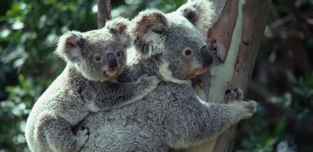 A população de coalas caiu drasticamente nas últimas duas décadas. Um dos motivos é a clamídia, doença sexualmente transmissível