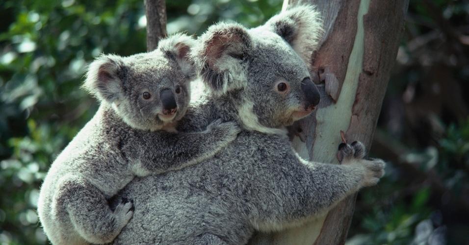 4.ago.2016 - Um coala leva filhote no Santuário dos Coalas Lone Pine, na Austrália. O anima passa os 6 primeiros meses de vida na bolsa da mãe, depois a acompanha por mais 6 meses nas costas ou barriga