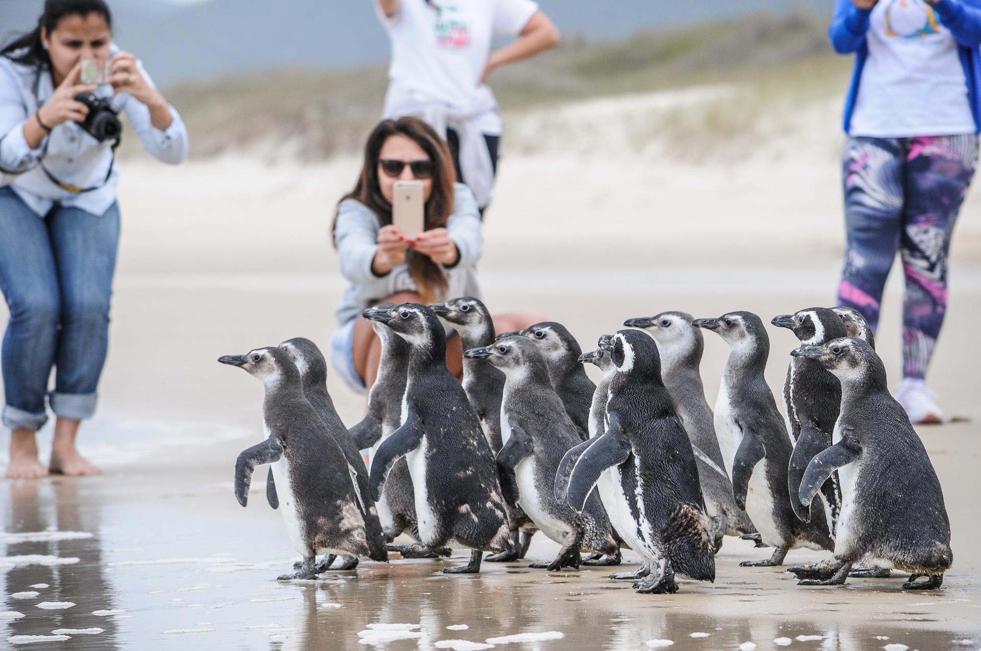 10.out.2016 - Grupo de 16 pinguins foi devolvido ao mar em Florianópolis após passar por tratamento durante dois meses