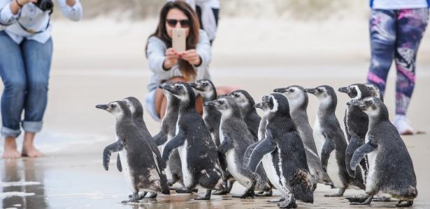 Grupo de 16 pinguins foi devolvido ao mar em Florianópolis após passar por tratamento durante dois meses