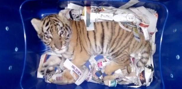 Filhote de tigre em pacote interceptado por autoridades no México