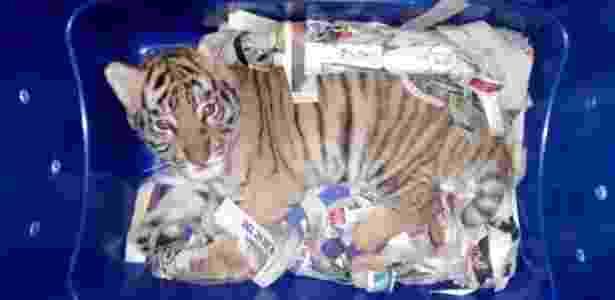 Filhote de tigre em pacote interceptado por autoridades no México - Polícia Federal do México via Reuters