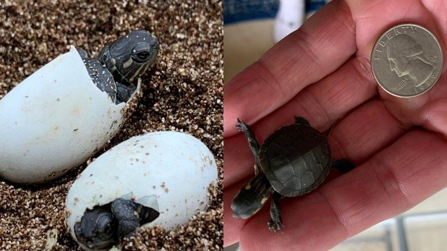 Cientista descobriu que tartaruga estava morta, na rua, e tentou salvar os filhotes dela - Reprodução/Twitter