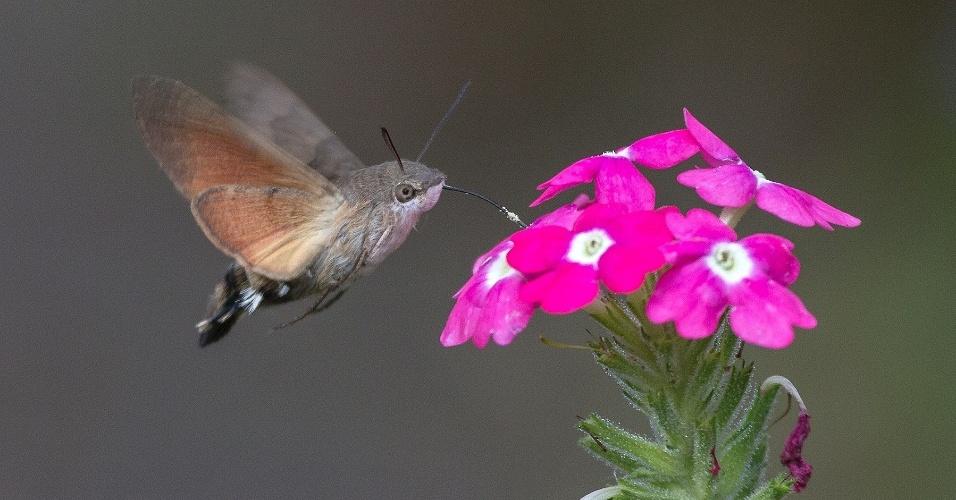 Lembra um beija-flor, mas é um inseto. O Macroglossum stellatarum é uma espécie de insetos lepidópteros, mais especificamente de traças, pertencente à família Sphingidae