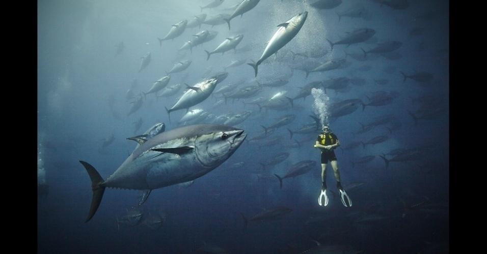 """5.fev.2016 - Um atum-rabilho (Thunnus thynnus), como esses fotografados perto de Malta, pode chegar a pesar 400 kg e nadar a 70 km por hora. """"O pescador que nos acompanhava pensou que precisávamos de mais ação, e então ele arremessou algumas sardinhas. Os atuns ficaram loucos"""""""