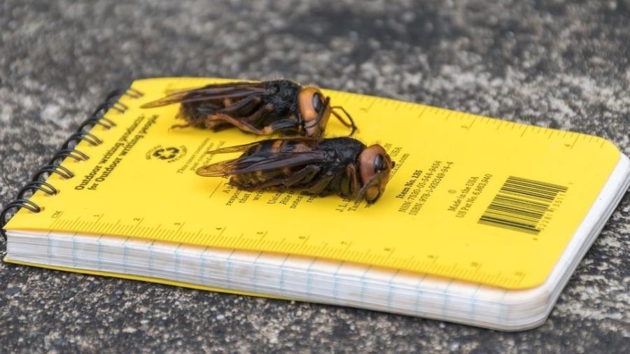 Vespas gigantes asiáticas têm provocado alarme em diversas regiões dos Estados Unidos - Washington State Department of Agriculture