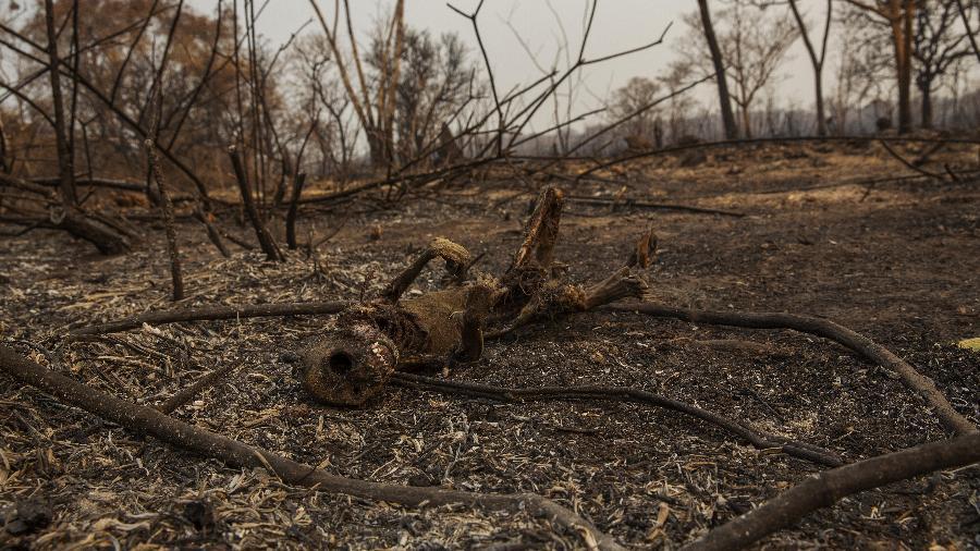Incêndios no Pantanal ameaçam espécies em extinção  - Lalo de Almeida/ Folhapress