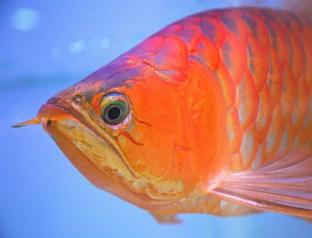 Aruanã de Kenny Lim, colecionador que já investiu cerca de US$ 600 mil em peixes