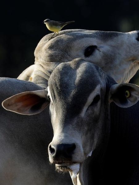 Preço da arroba bovina subiu para 315 reais esta semana, patamar recorde - PAULO WHITAKER