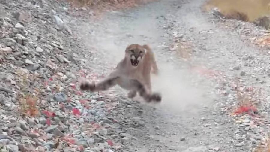 Homem grava momento em que é perseguido por puma em trilha nos EUA - Divulgação/YouTube