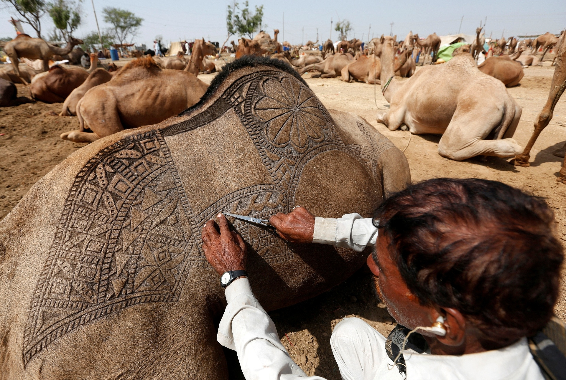 9.set.2016 - Com uma tesoura, homem corta os pelos do camelo e cria um desenho decorativo nas costas dos animais antes de exibi-lo no mercado improvisado em frente ao festival Eid al-Adha, em Karachi, no Paquistão. O evento também é conhecido como Festa do Sacrifício e é feito em homenagem ao profeta Abraão