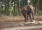 Brasil terá santuário de elefantes na Chapada dos Guimarães (Foto: Divulgação/ Santuário de Elefantes Brasil)