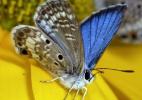 """Inseto """"mais escasso"""" dos EUA, borboleta azul de Miami luta para sobreviver - Jaret Daniels/Mu"""