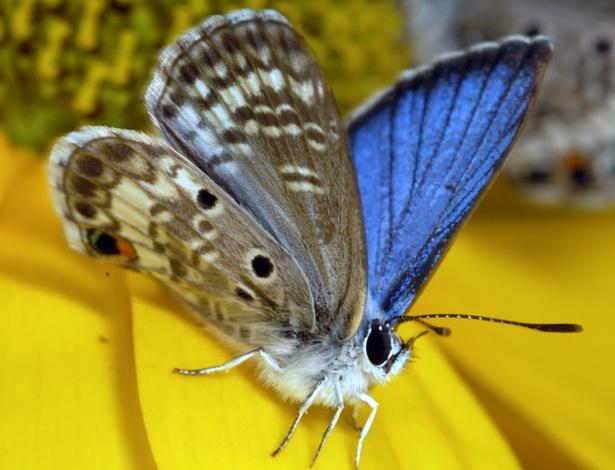 O macho da borboleta azul possui um azul vívido no interior das asas