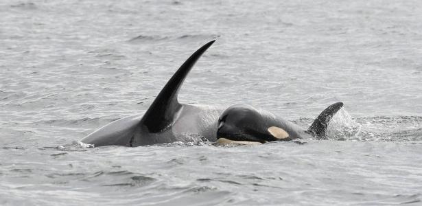Orca carrega filhote morto há duas semanas