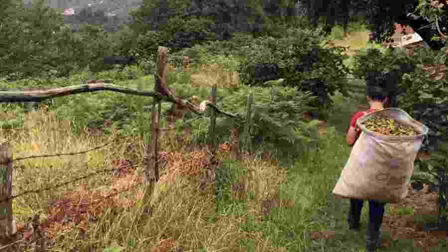 Mehmet Kelekci trabalha com a família na colheita - BBC