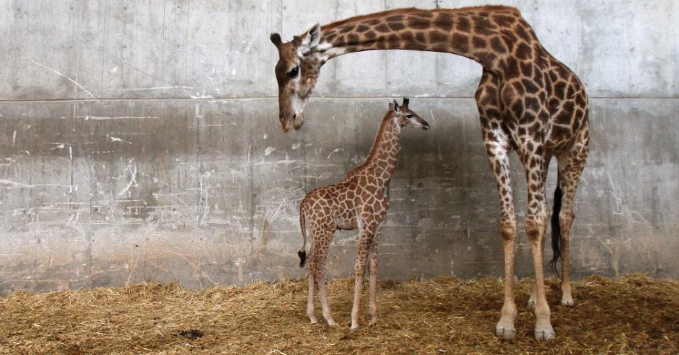 11.abr.2016 - Girafa sul-africana cuida de seu filhote de apenas três semanas no Zoológico de Jerusalém