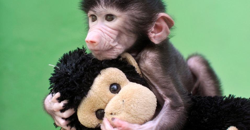 28.abr.2016 - Com apenas 23 dias de vida, o pequeno babuíno brinca com um macaquinho de pelúcia no Zoológico Sri Chamarajendra em Mysuru, Índia. O animal foi abandonado pela mãe depois de seu nascimento
