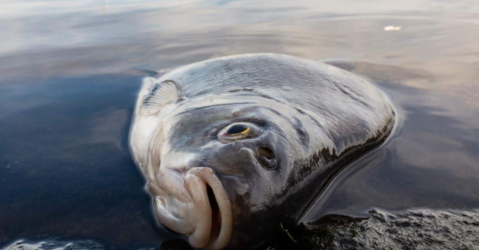 1.Ago.2018 - Peixe morto é visto em porto no norte da Alemanha