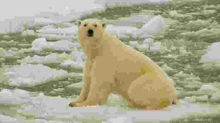 Com aquecimento global, ursos polares estão sendo forçados a ficar mais tempo em terra para buscar alimentos - EPA