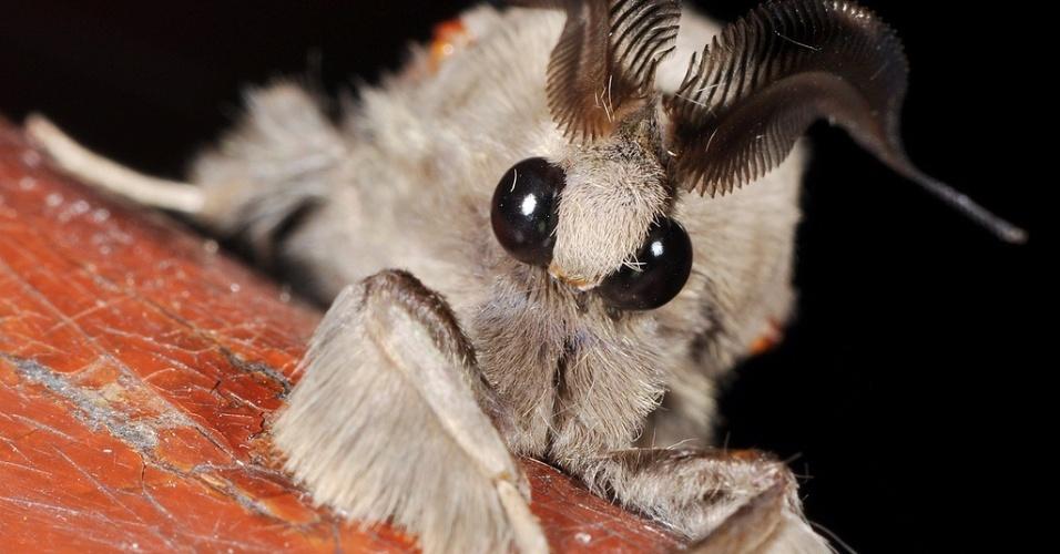 Ela ficou conhecida como 'mariposa poodle' depois de ser descoberta em 2009 pelo cientista Arthur Anker na Venezuela.   Embora rara, ela lembra outro tipo de mariposa, a Diaphora mendica