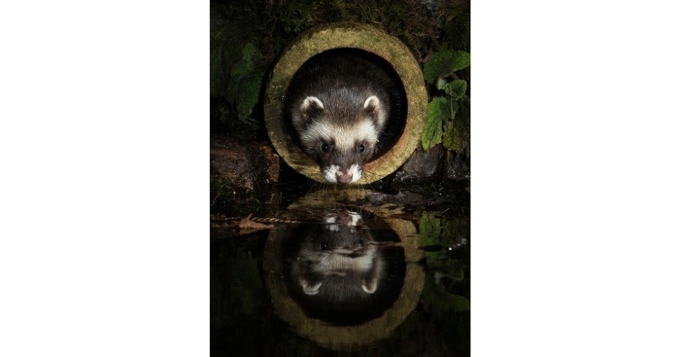 """Fotografar mamíferos selvagens é um desafio, o que torna os registros premiados anualmente pela The Mammal Society, organização britânica sem fins lucrativos, ainda mais impressionantes. O ganhador na categoria """"Mamíferos na Porta de Casa"""" foi Richard Bowler, com esta imagem de uma doninha"""