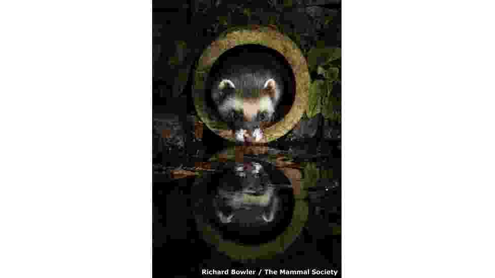 """Fotografar mamíferos selvagens é um desafio, o que torna os registros premiados anualmente pela The Mammal Society, organização britânica sem fins lucrativos, ainda mais impressionantes. O ganhador na categoria """"Mamíferos na Porta de Casa"""" foi Richard Bowler, com esta imagem de uma doninha - Richard Bowler/The Mammal Society"""