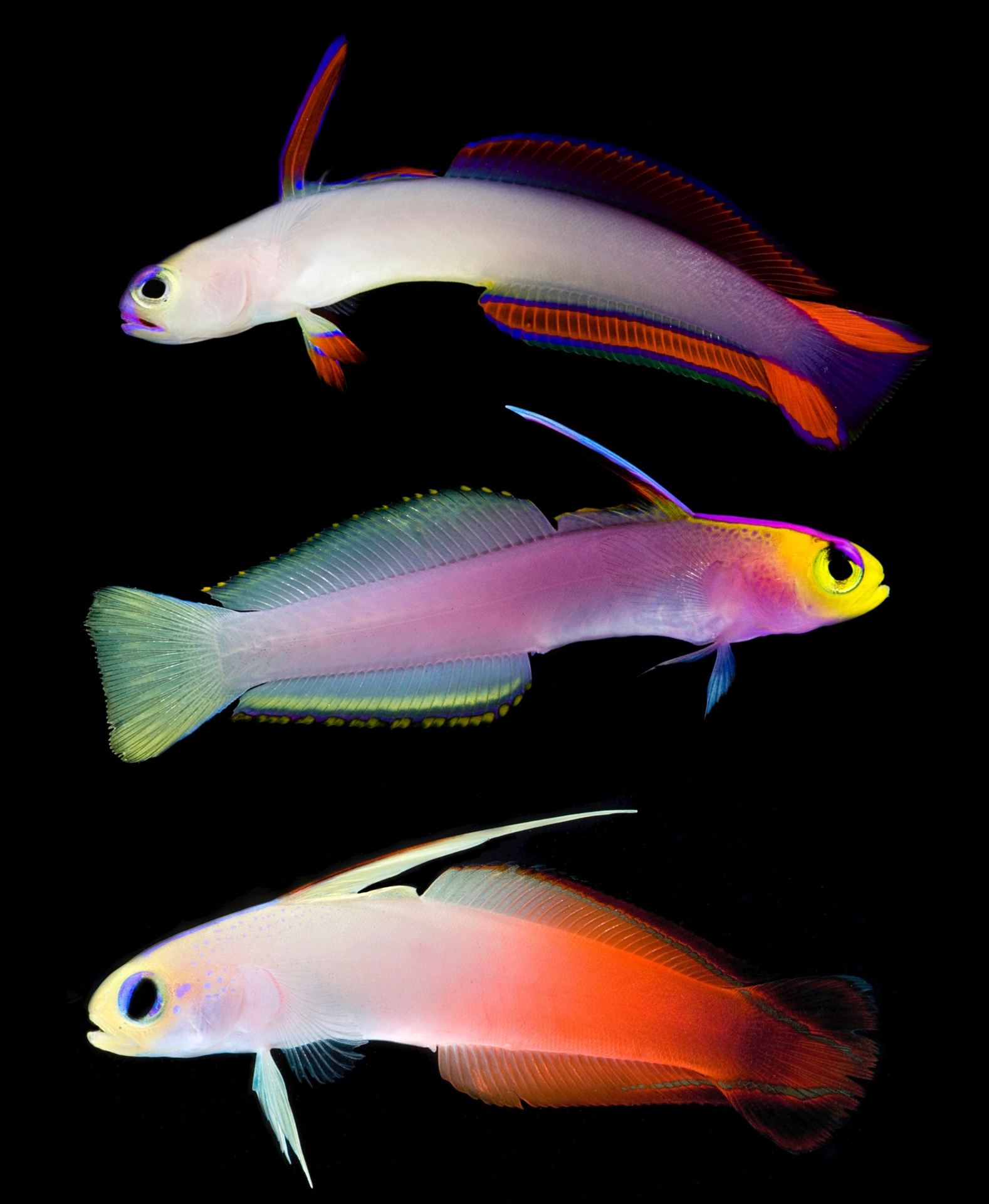 5.jul.2016 - O peixinho Nemateleotris helfrichi (no meio) é encontrado no oeste do Oceano Pacífico e vive a até 90 metros de profundidade. Já os Nemateleotris magnifica (na parte inferior) são encontrados no Pacífico tropical, no Mar Vermelho na costa leste da África