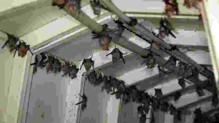 Os morcegos são os mamíferos mais numerosos, depois dos roedores - Getty Images - Getty Images