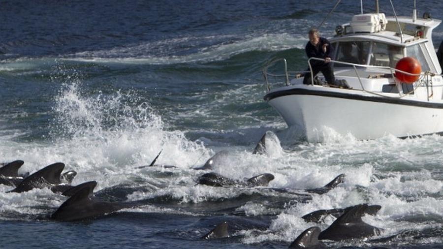 A caça de golfinhos e baleias (como nesta imagem de arquivo) é uma prática tradicional nas Ilhas Faroé - Getty Images