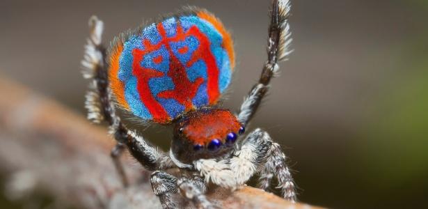 A aranha-pavão além de ser toda colorida, ainda faz uma dança de acasalamento