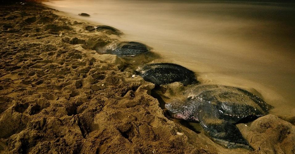 26.out.2015 - Tartarugas-de-couro lotam a areia desta praia ao luar em Grande Riviere, em Trinidad e Tobago. A areia banhada pelas águas facilita a eclosão dos ovos