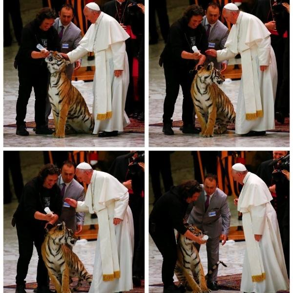 """16.jun.2016 - Combinação de imagens mostra a reação de um tigre ao ser tocado pelo papa Francisco, no Vaticano. O pontífice arrancou risadas dos presentes ao falar sobre a situação. """"Vocês sabem fazer nascer um sorriso em uma criança, iluminar a vida de uma pessoa solitária, deixar os homens mais próximos uns dos outros... e vocês também conseguem assustar o papa aqui"""", declarou"""